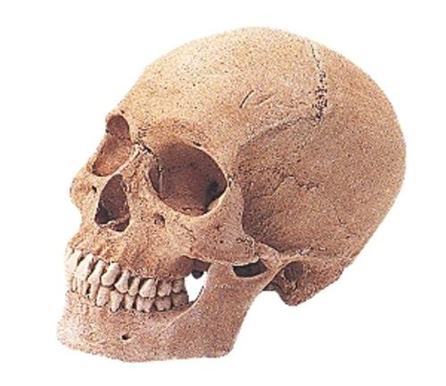頭骨モデル